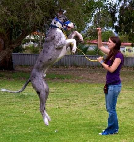 GREAT DANE ACTIVITY - FITNESS FOR A DOG THE SIZE OF A